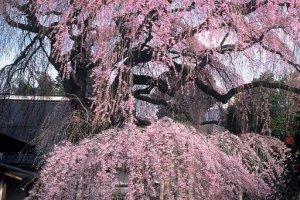 Sakura in Yamanashi