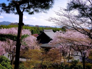 Pine tree and cherry blossoms