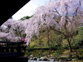 Cherry blossoms come in a variety of shades of pink