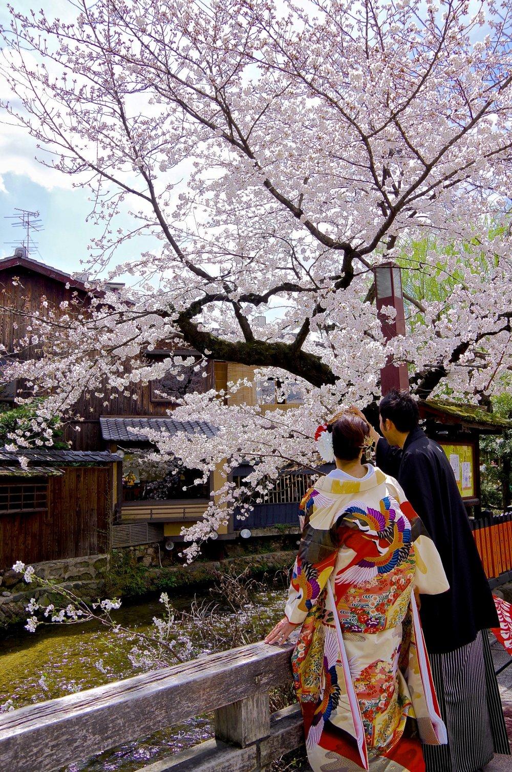 Couple en kimono sous les cerisiers en fleurs