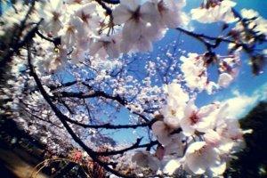 Hanami in Hiroshima City