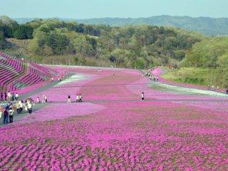 경사 진 언덕을 뒤덮은 꽃 카펫. 조그마한 전망대 꼭대기에서 바라본 풍경이에요.