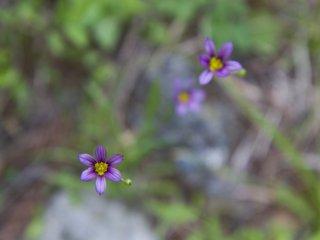 ดอกไม้ป่าของฤดูใบไม้ผลิ