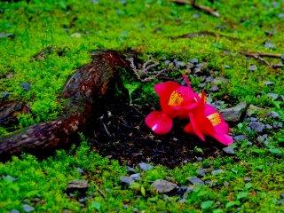 ดอกคามีเลียบนพื้นที่ศาลเจ้า