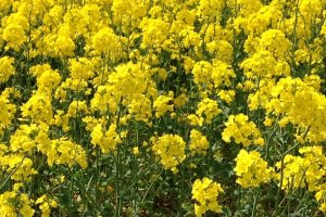 "The nanohana ""rapeseed"" flower"
