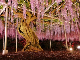 Night-time illumination of a large wisteria tree