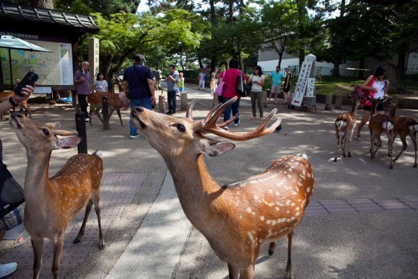 Some of the friendly deer greeting visitors hoping for treats