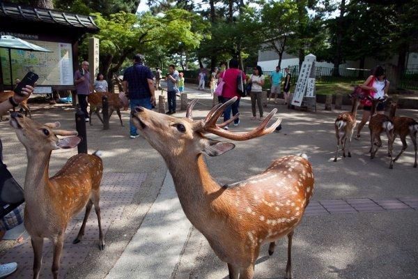 Algunos ciervos amigables saludando a los turistas esperando algún premio