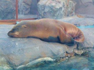 Petit somme au zoo de Ueno