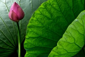 The Japanese Lotus is sophisticated
