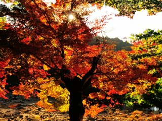 Setting sun is beaming through a large maple tree, and the back-lit maple leaves are burning red