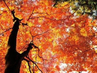 Vivid Autumn Colors in Korankei