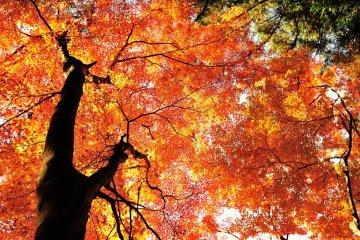 錦色に輝く香嵐渓