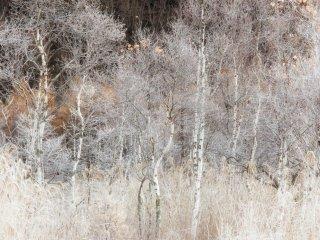 ในเดือนพฤษจิกายนต้นไม้ต่างๆ เปลี่ยนเป็นสีเงินดูเหมือนกับมีน้ำค้างแข็ง
