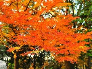 Нежный пронзительно-алый кленовых листьев у зала Хатто