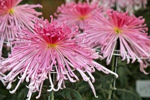 Beautiful pinkombré