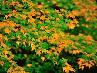 Green and yellow maple leaves make a pretty scene