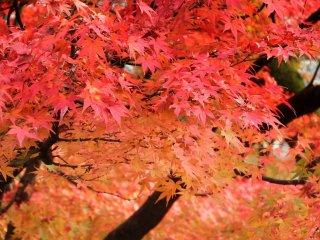 Brilliant maple leaves in vermilion