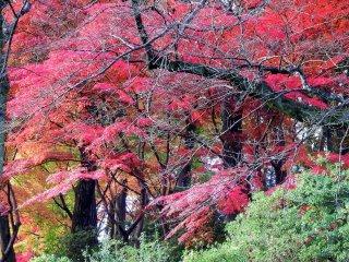 西山公園の丘陵を彩る華麗な紅葉
