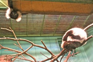 Do you see the Lemur peeking out from above? They are so curious and fun to watch as they play.