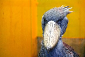 Hashibirokou, the mysterious Shoe-billed Stork