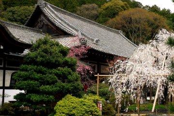 Bunga Sakura di Bishamon-do