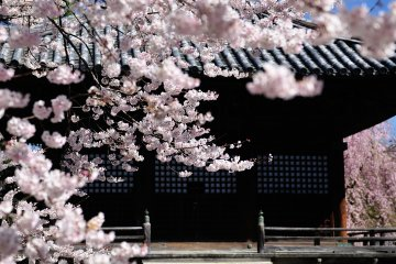 Cherry Blossoms at Dojoji Temple