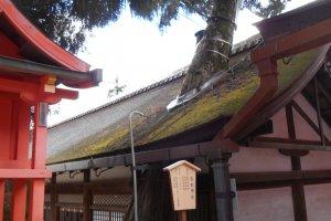 Un arbre sacré pousse à travers le toit du bâtiment