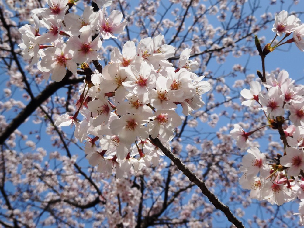 This weekend (March 28th-29th, 2015) saw the flowers hit full bloom