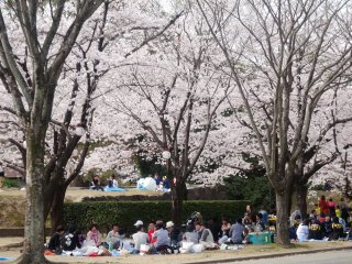 The castle is arguably the most popular hanami spot in town