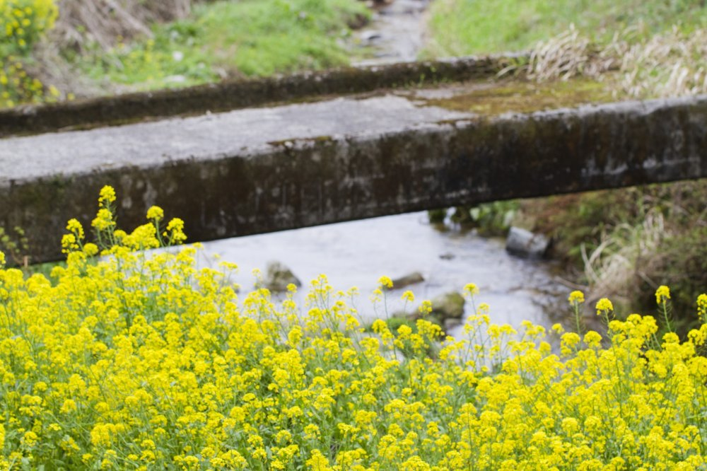 Rapeseed blossoms and an old footbridge