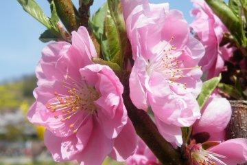 ภูเขาดอกไม้ฟุคุชิมะ