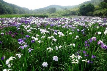 Irises at Lake Kagurame
