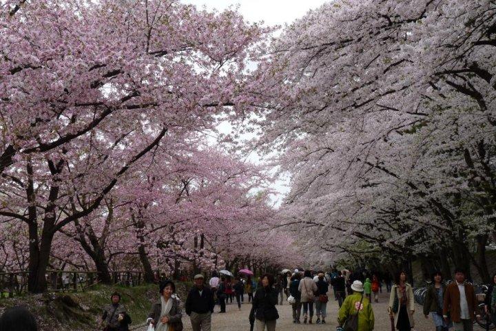 เทศกาลชมดอกซากุระที่ฮิโรซากิ