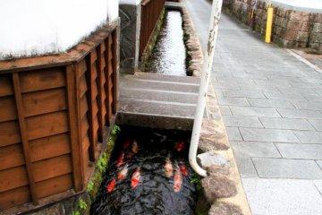 ปลาสวยน้ำใสที่ชิมาบาระเมืองปลาคาร์ฟ