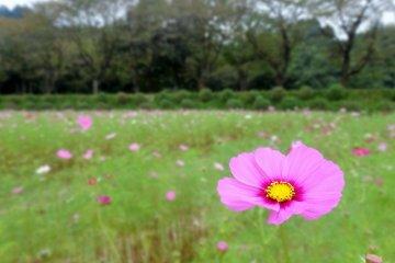巾着田公園のコスモス