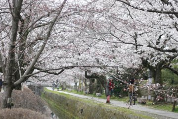 Blooming Sakura in Kyoto