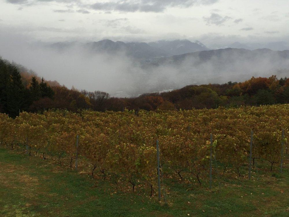 Туманная долина виднеется над лозами