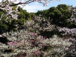 Au printemps, il est possible d'admirer les cerisiers japonais près de la cascade Ozone