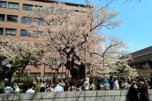 Ishiwarizakura the Rock Splitting Cherry Tree in full bloom