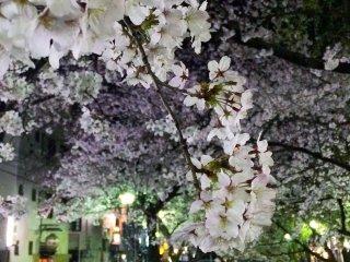 La floraison dans la rue Kiyamachi