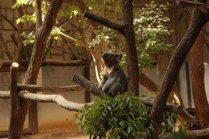 Les koalas sont l'une des attractions phares du zoo