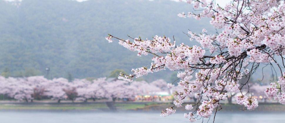 Cerisiers en Fleurs au Kintai-kyo