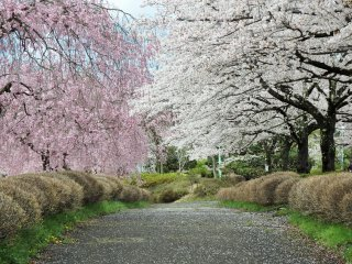 The trees are mostly yoshino cherry, weeping cherry, and double-petal cherry trees.