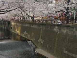 A tunnel of sakura