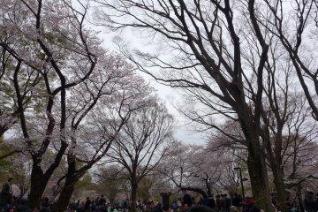 Ảnh hoa anh đào  JapanTravel