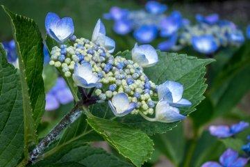ดอกไฮเดรนเยียทีสวนโนะเกะยะมะ โยโกฮาม่า