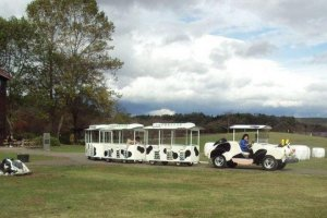 """The legendary cow train transports customers, even """"moo-ing"""" as it circles the grounds."""