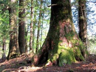 Picturesque Pine tree