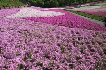 วิมานสีชมพูที่สวน Hitsujiyama